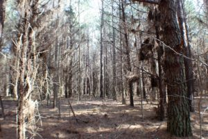 UNDER CONTRACT!  20 Acres of Timberland For Sale in Lunenburg County VA!