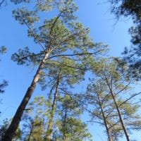 SOLD!  131 Acres of Hunting and Timber Land For Sale in Robeson County NC!