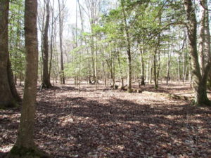UNDER CONTRACT!  42 Acres of Hunting and Timber Land For Sale in Accomack County VA!