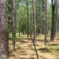 UNDER CONTRACT!  101 Acres of Hunting and Timberland For Sale in Bladen County NC!