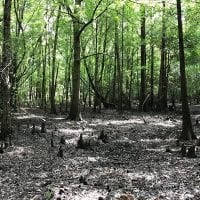 12.17 Acres of Timber and Hunting Land for Sale in Sampson County NC!