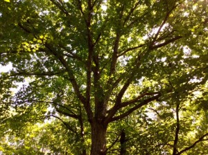 A white oak on a 69 acre hunting tract for sale in Halifax County