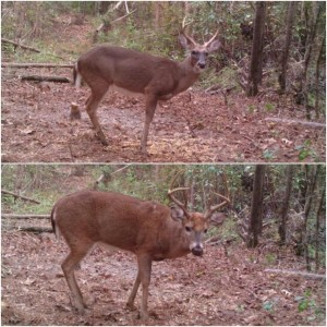 A yearling buck (above) and a mature 6-point buck (below). Notice body and antler size differences
