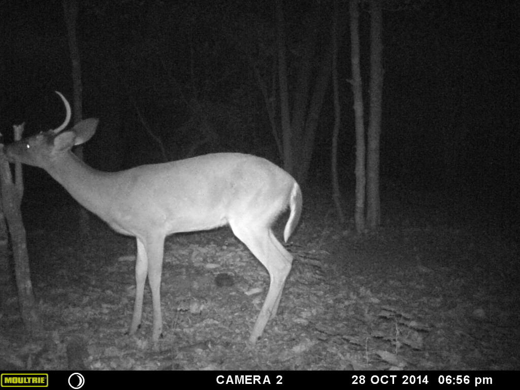 Yearling Bucks and Deer Management