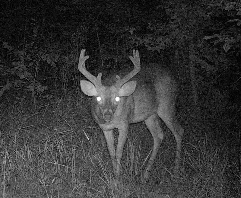 The buck shows promise, already outside his ears in early August means I'll be looking for him in mid September!