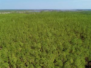 50.29  Acres of Hunting Land for Sale in Pamlico County NC!