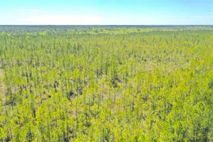 UNDER CONTRACT!!  88.76 Acres of Hunting and Timber Land for Sale in Brunswick County NC!