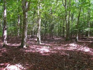36.5 Acres of Hunting Land for Sale in Accomack County Virginia!