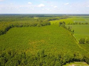 55 Acres of Timber and Hunting Land For Sale in Bertie County NC!
